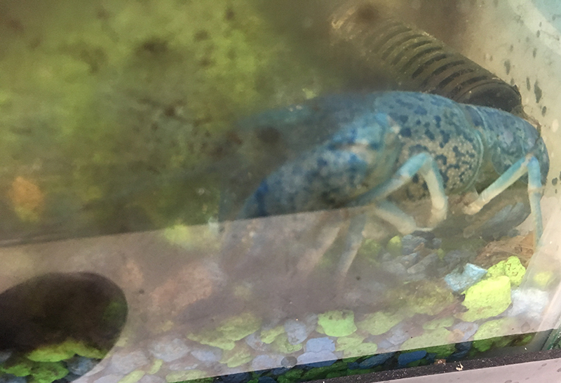 blue-crawfish-stuck-in-a-filthy-tank-with-no-wate