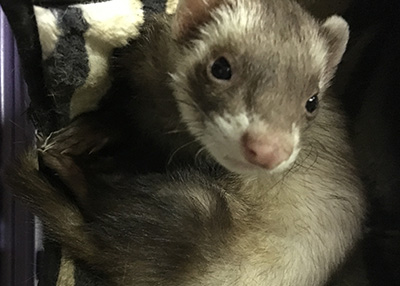 Houston Humane Society Ferrets and birds ready for adoption!