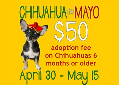 Houston Humane Society - Chihuahua de Mayo