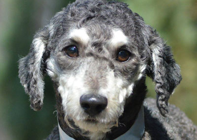 Houston Humane Society Rescued Poodles Now up for Adoption